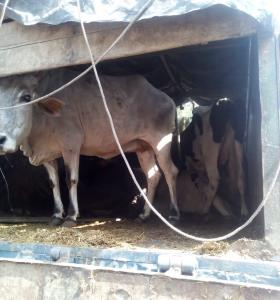 40 bovine animals rescued, 4 smugglers arrested