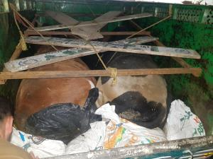 Three bovines rescued
