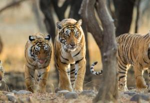 India loses 750 tigers in last eight years; MP, M...