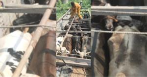64 cattle rescued, 7 smugglers arrested