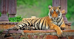 Tigress Sundari to be shifted back into enclosure